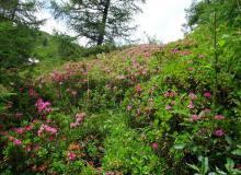 Alpenrose, Almrausch genannt