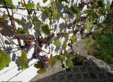 auch Wein wächst bei uns