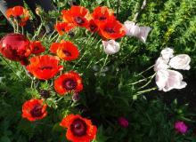 diese Farbenpracht in unserem Garten