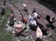 Hühnerzucht auf der Alm